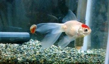 140131 金魚