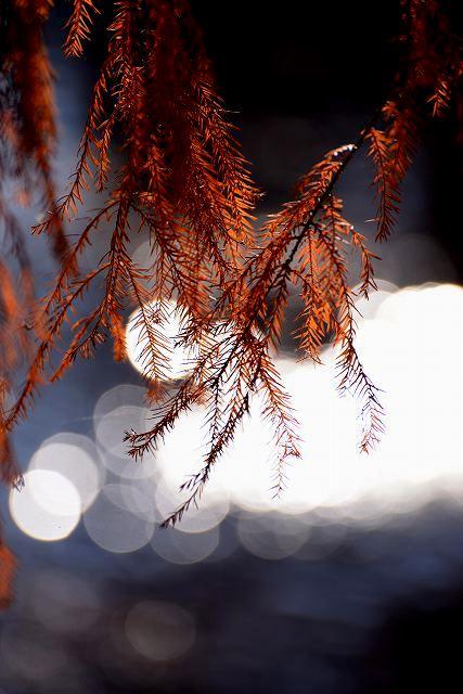 メタセコイアの紅葉1