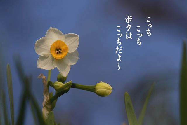 日本水仙2