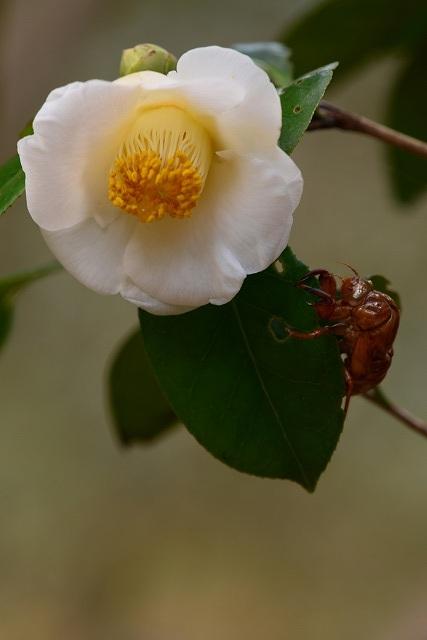 蜜姫と蝉の抜け殻
