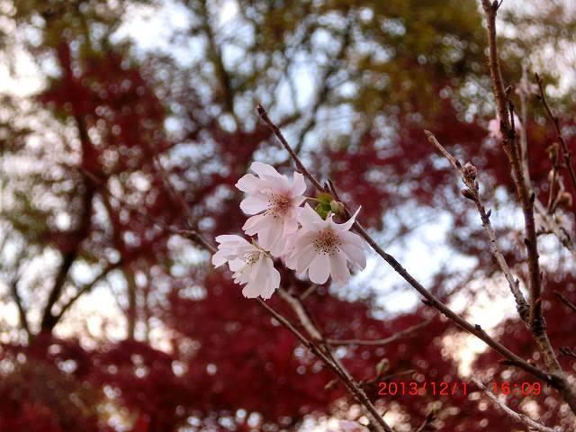コブク桜1