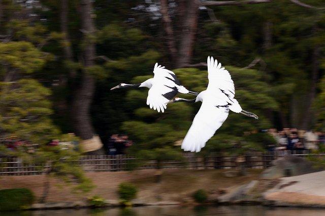 丹頂の放鳥11