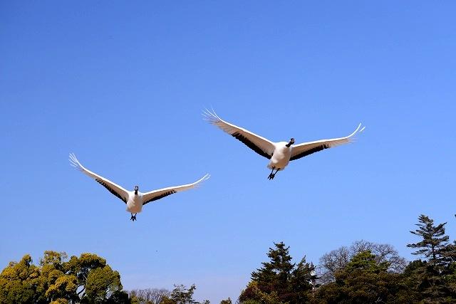 丹頂の放鳥2