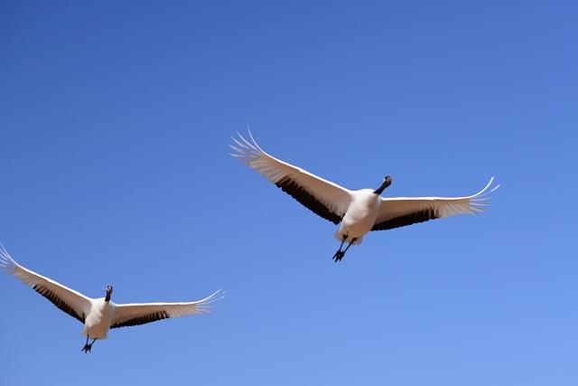 丹頂の放鳥3