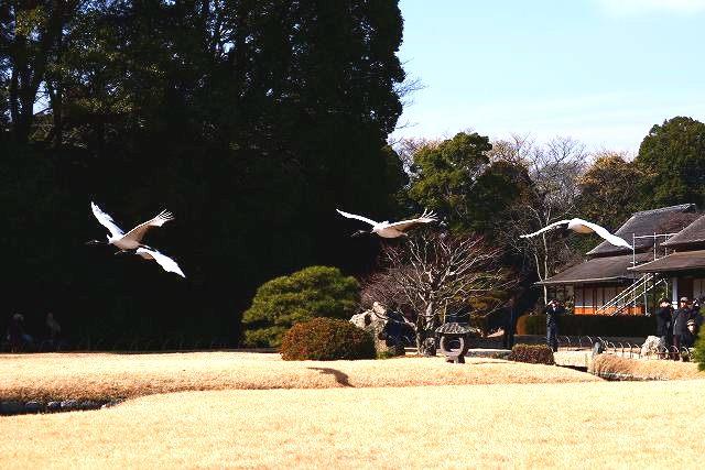 丹頂の放鳥12