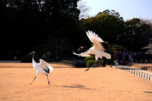 丹頂の放鳥26