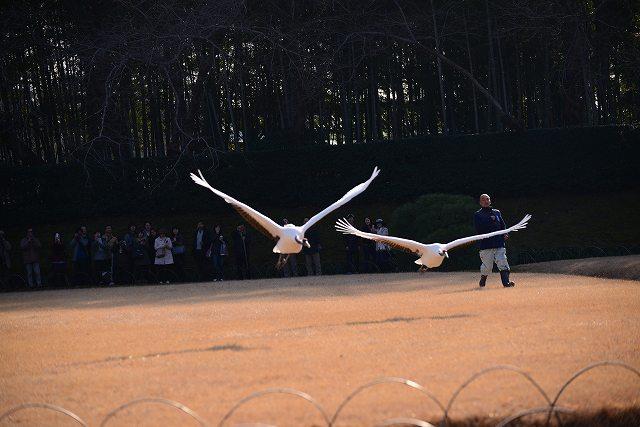 丹頂の放鳥27