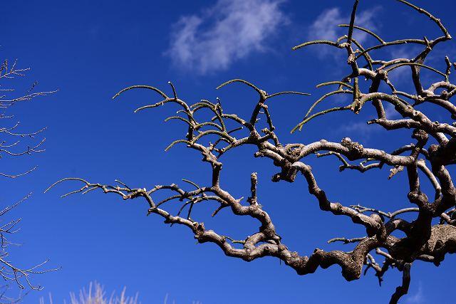 シダレエンジュの木