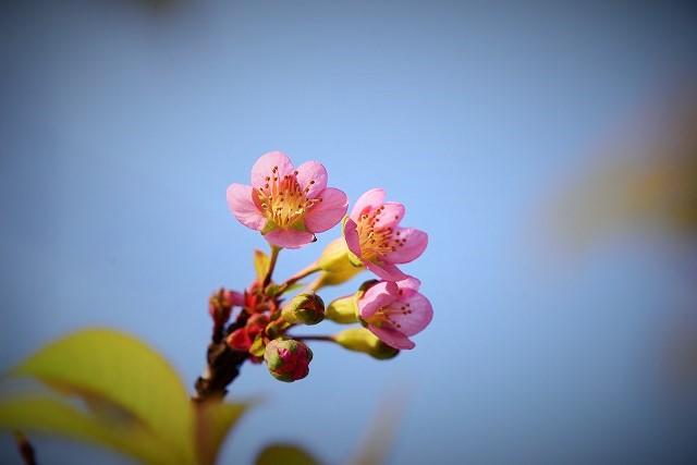 ヒマラヤ桜2