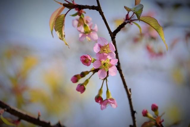 ヒマラヤ桜3