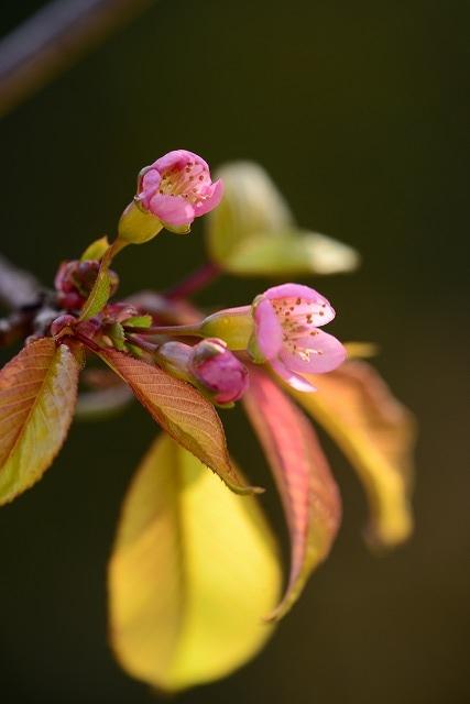ヒマラヤ桜5