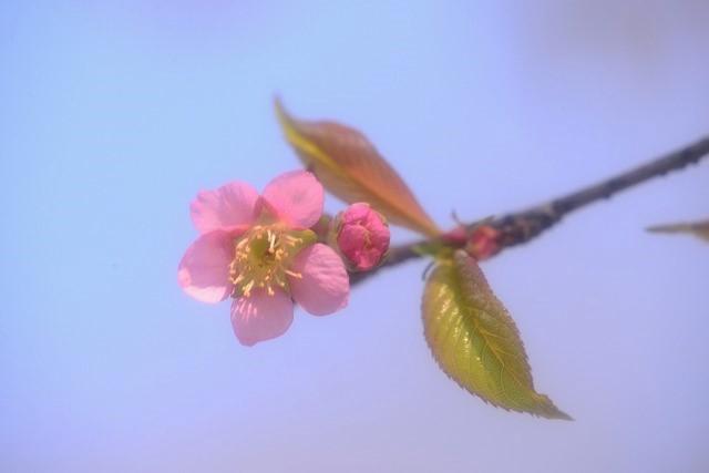 ヒマラヤ桜6