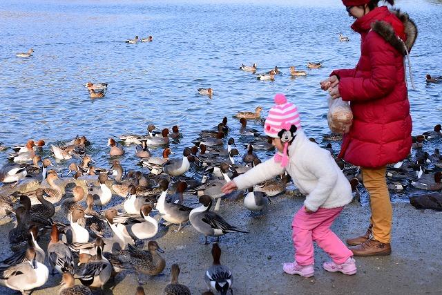 公園の鴨2