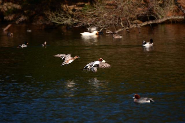 公園の鴨4