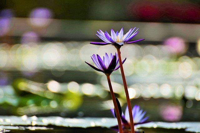 紫色のスイレン1