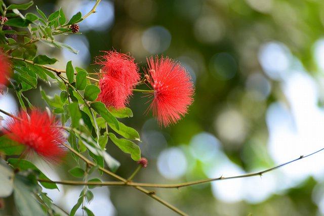 ネムのような赤い花