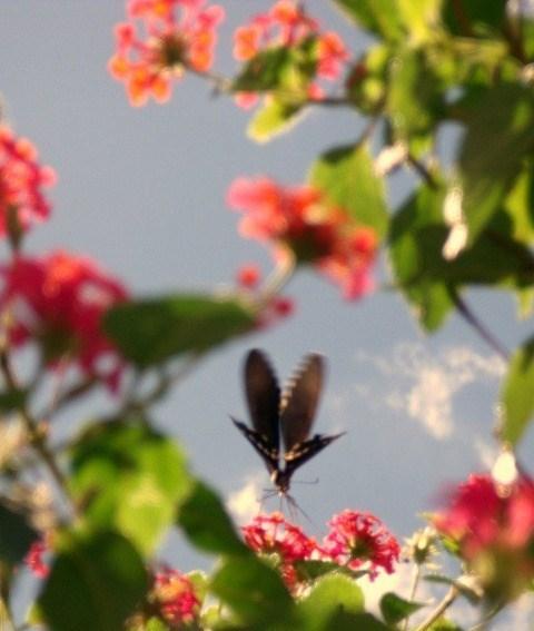 庭の植物とシロオビアゲハ
