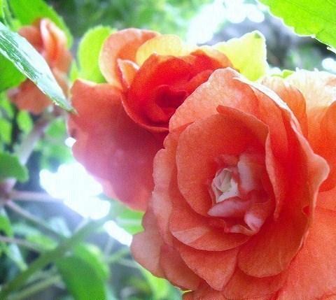 八重咲きインパチェンス