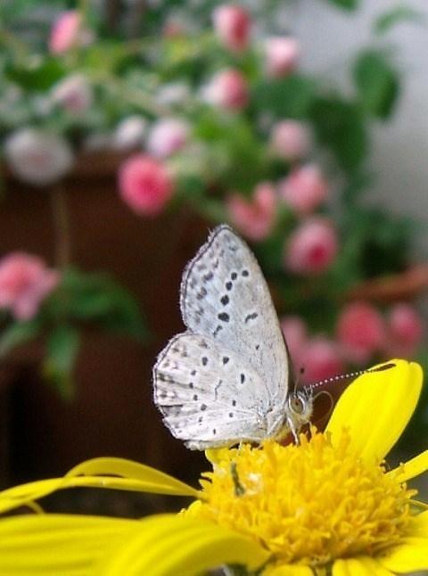 花とシジミチョウ