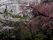 20130323上野公園花見B