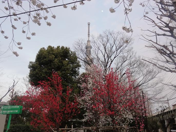 20130323紅梅&桜&スカイツリー