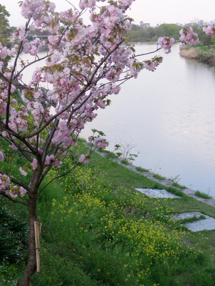 20130412河辺の八重桜菜の花