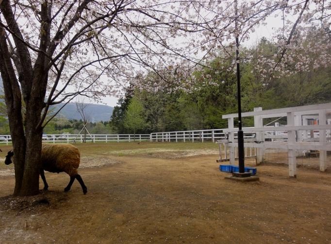 20130417秩父芝桜の丘&羊と桜