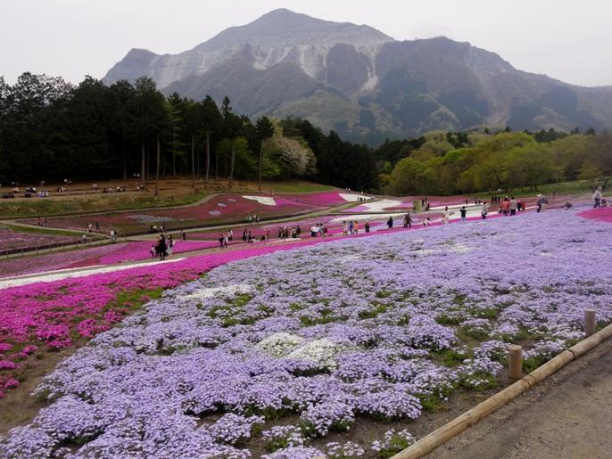20130417芝桜の丘.オーキントンブルーA