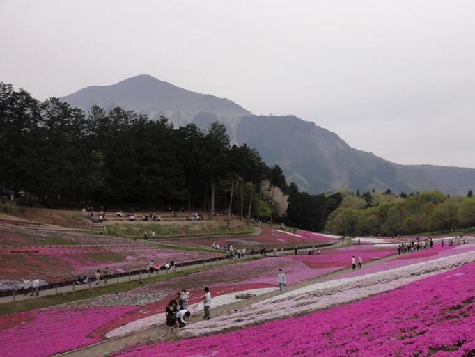20130417芝桜の丘マックダニエルクッション武甲山A