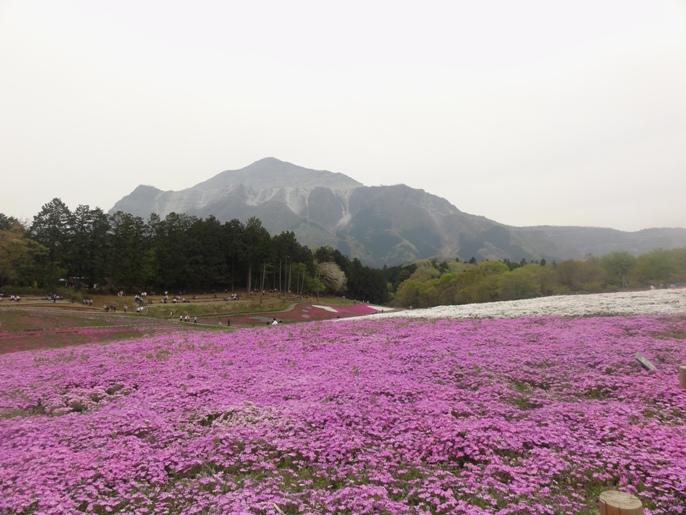 20130417秩父芝桜の丘.オータムローズ武甲山A