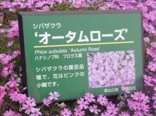 20130417秩父芝桜の丘.オータムローズ.Aネームプレート