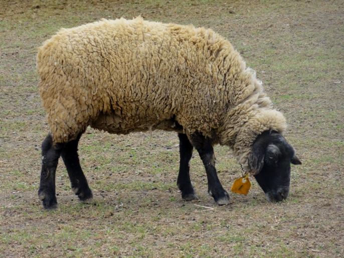 20130417秩父芝桜の.羊