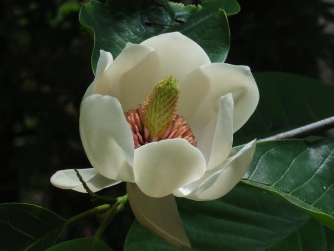 20130501多聞院 ホオノキの花 A