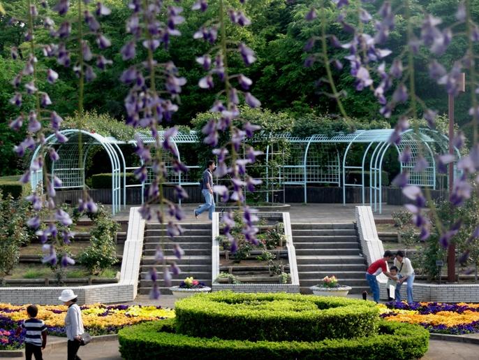 20130505 緑化都市植物園  藤 2 A