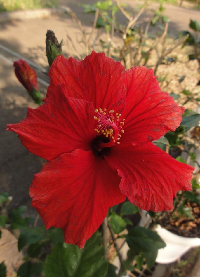 20130505 緑化都市植物園  ハイビスカス 2 A