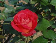 20130505 緑化都市植物園 薔薇レッド