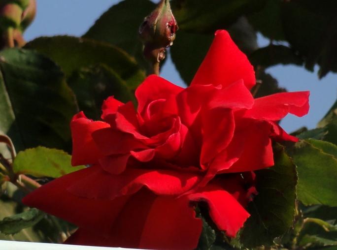 20130505 緑化都市植物園 薔薇レッド.2