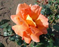 20130505 緑化都市植物園 薔薇 ルイ・ドゥ・フュー.ネ