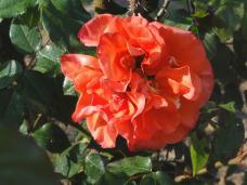 20130505 緑化都市植物園 薔薇 ケニギン・ベアトリックス