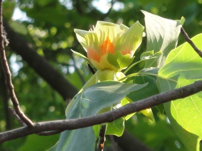 20130515都市緑化植物園 ユリノキ
