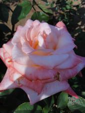 20130515都市緑化植物園 薔薇 ダイアナ・プリンセス・オブ・ウェールズ 2A