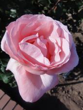 20130515都市緑化植物園 薔薇 クイーン・エリザベス 2A
