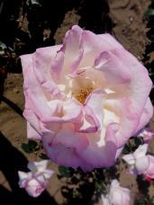 20130515都市緑化植物園 薔薇 プリンセス・ドゥ・モナコA