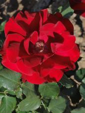 20130515都市緑化植物園 薔薇 プレジデント・Lサンゴール 2A