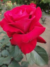20130515都市緑化植物園 薔薇ドナルド・レーガン・ローズ 3A