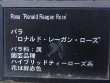 20130515都市緑化植物園 薔薇 ドナルド・レーガン・ローズ ・プレート
