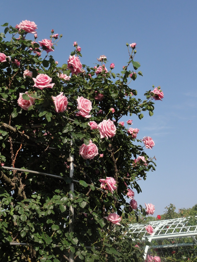 20130515都市緑化植物園 薔薇 プリンセス・ドゥ・モナコ 6A