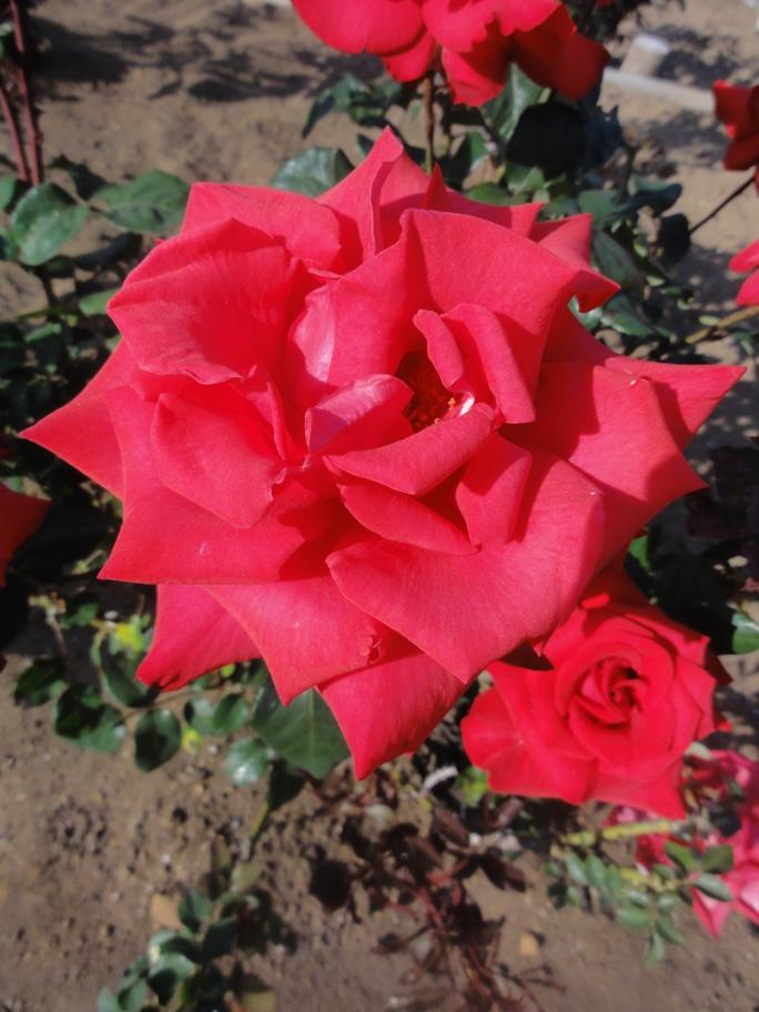 20130515都市緑化植物園 薔薇 タイムレス 1 A