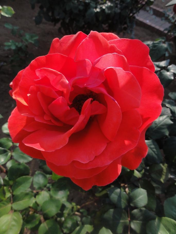 20130515都市緑化植物園 薔薇 緋扇 3A