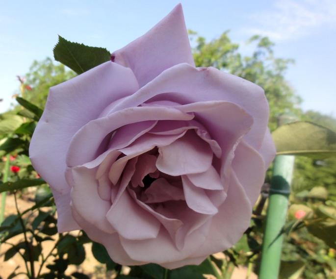 20130515都市緑化植物園 薔薇 紫香A